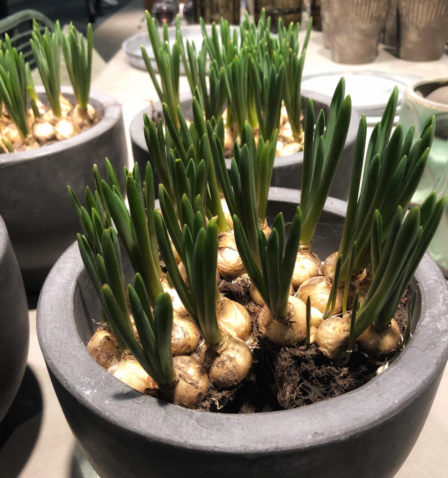 trendiga växter