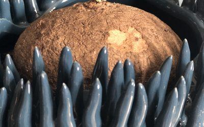 Caudex växter – knölar med vackra bladverk Så tar du hand om dina Caudex växter!