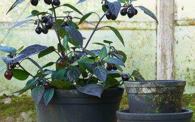 Krukväxter under semestern Hur får man krukväxterna att överleva semestern?